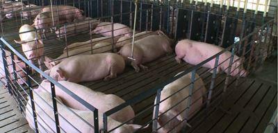 Good Slat Design Aid in Preventing Swine Lameness